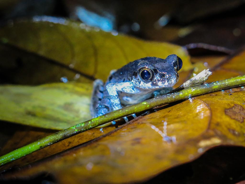 frogs Mt Kinabalu (5 of 8)