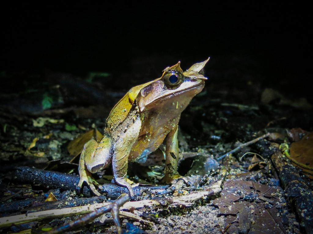 frogs Mt Kinabalu (6 of 8)