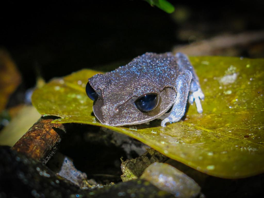 frogs Mt Kinabalu (7 of 8)