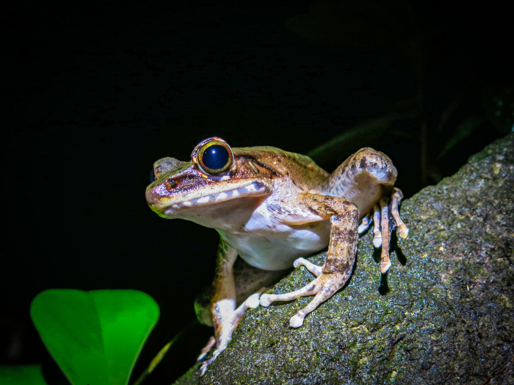 frogs Mt Kinabalu (8 of 8)