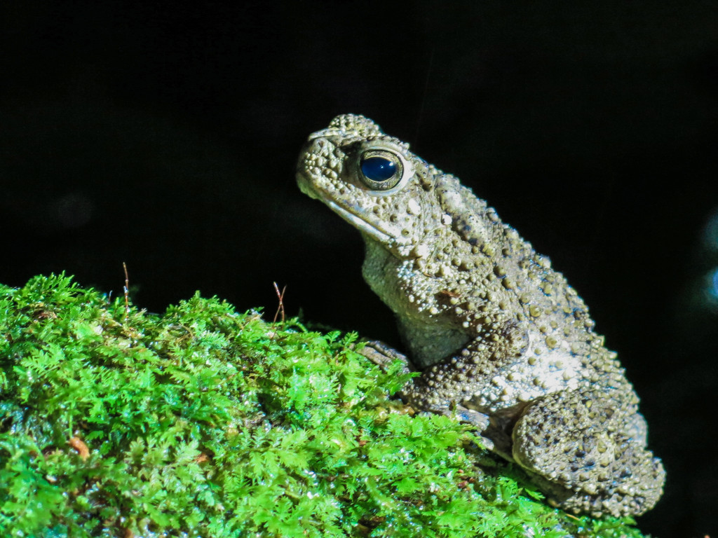 frogs Mt Kinabalu bis (1 of 1)